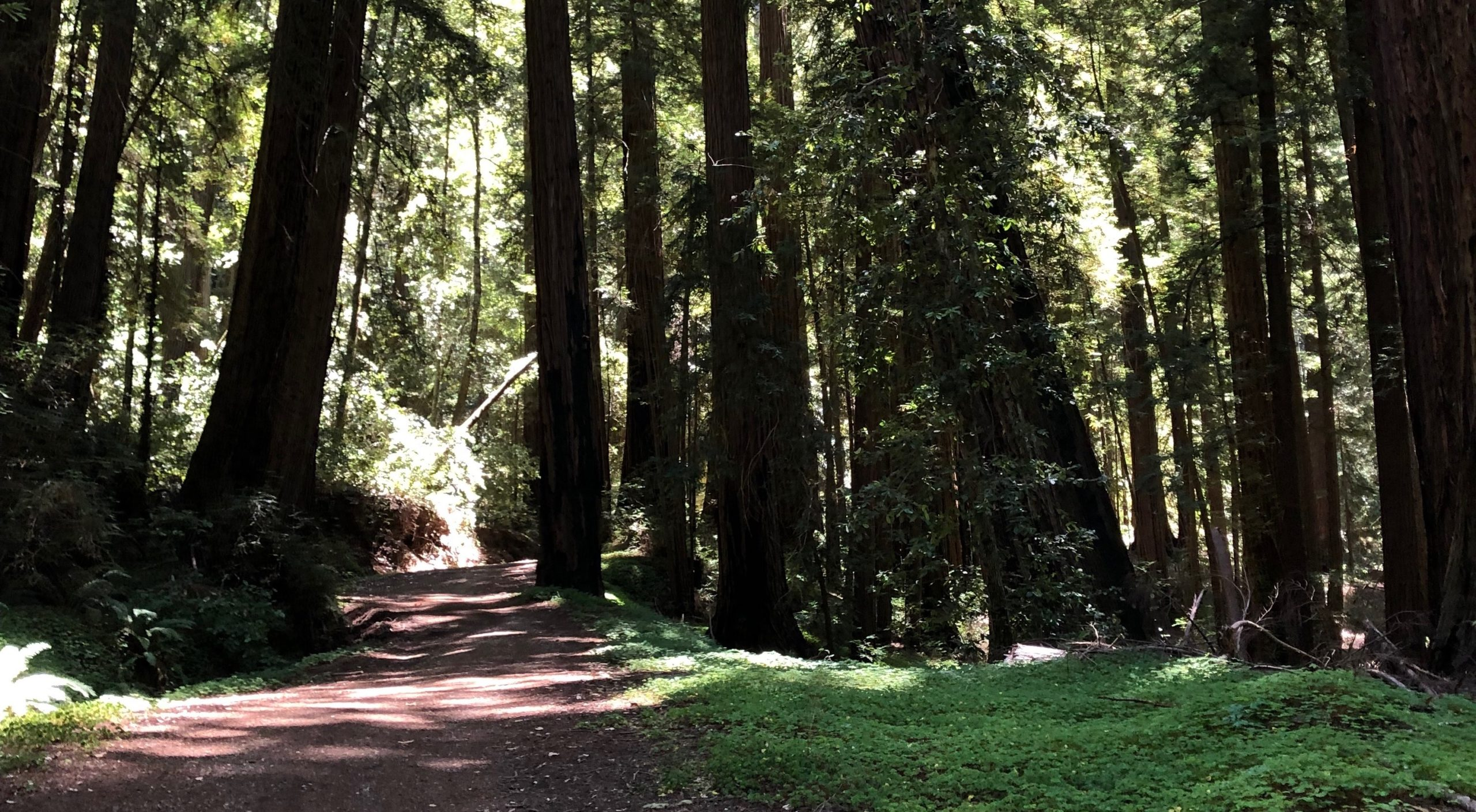 redwood forest path