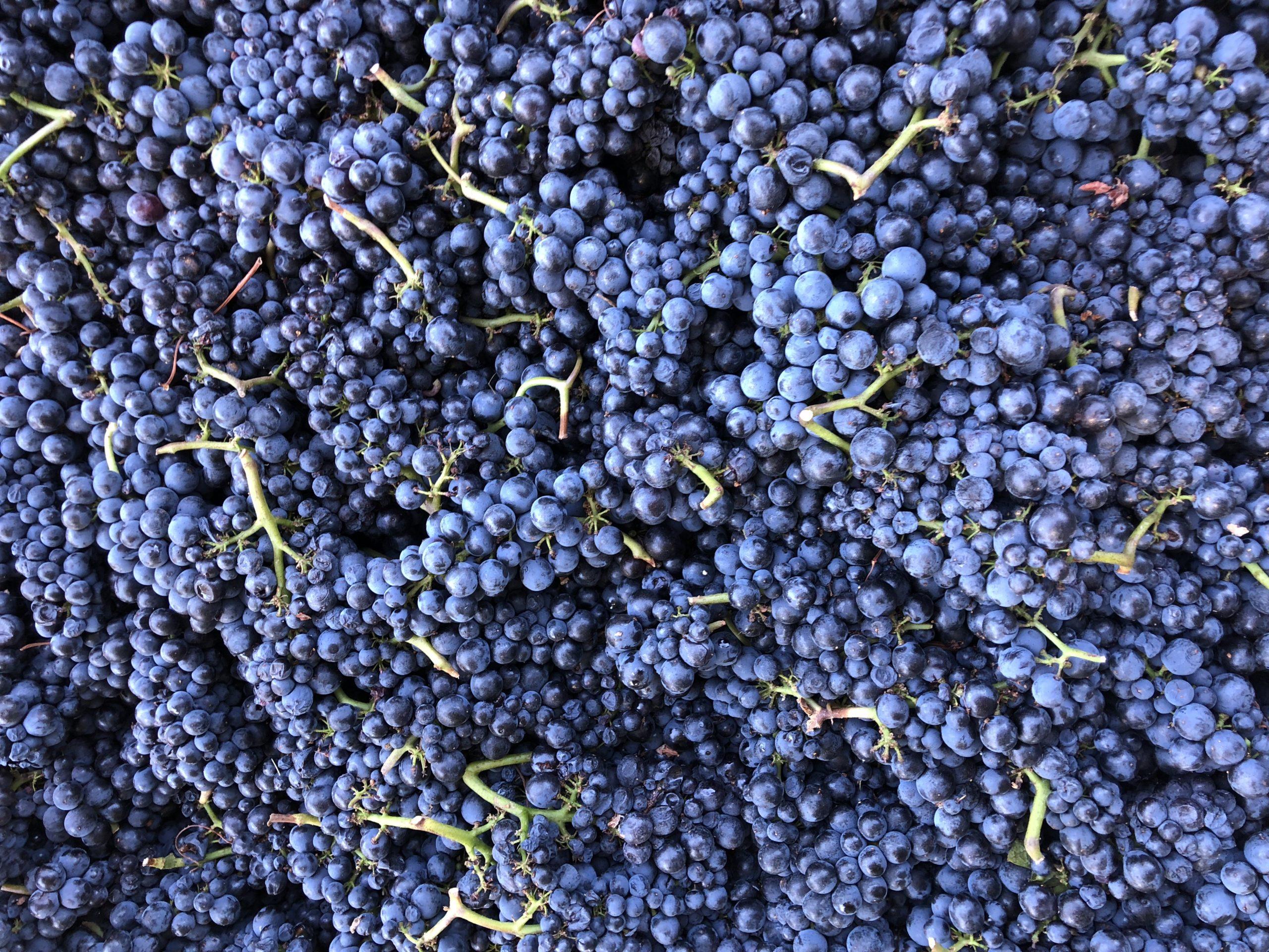 Coastview Pinot Noir clusters