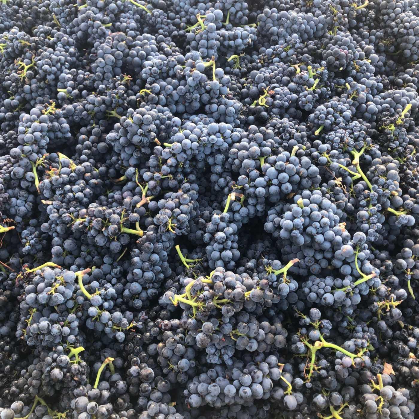 estate pinot noir grapes