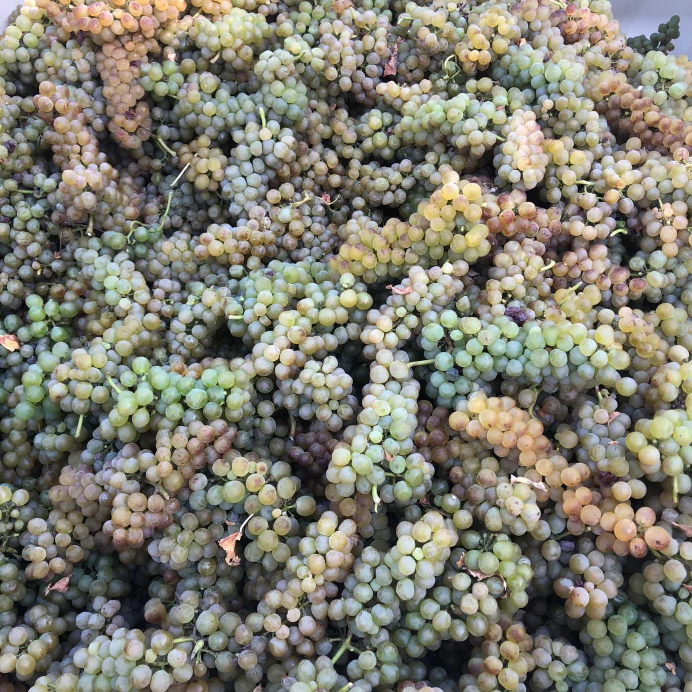 estate Roussanne grapes