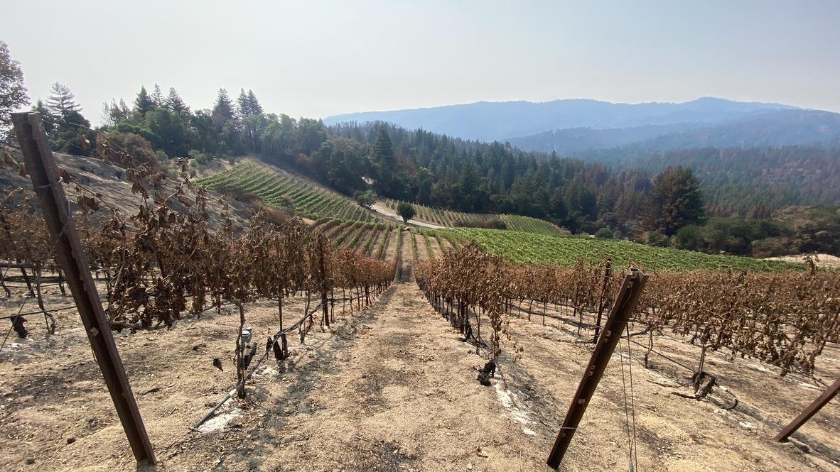 burned vines, healthy vines